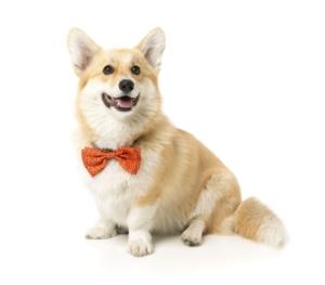 犬猫用 ボウタイ サファリ